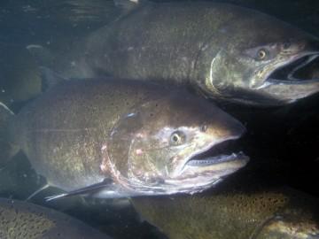 salmonids_BOS_environm_analysis-bids
