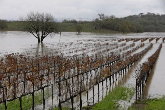 Flooded vineyard, River Road, Forestville