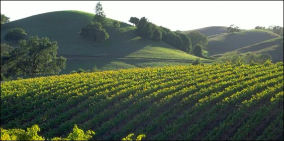 Sonoma County vineyard and hills