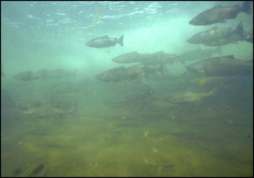 Chinook Salmon, Russian River