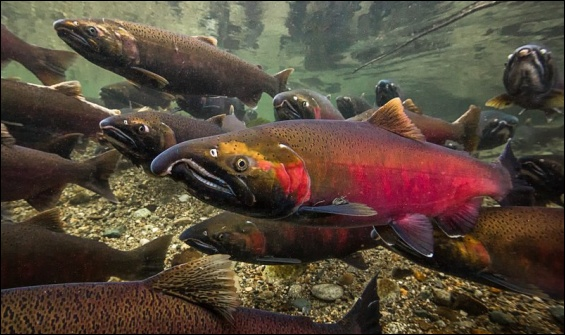 Coho salmon in spawning colors