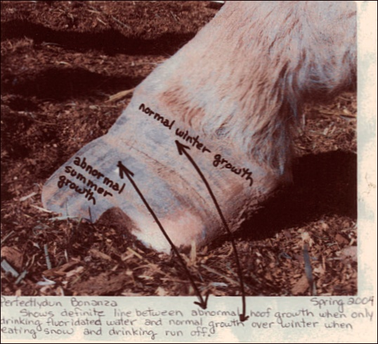 Baby Doe's hoof (spring 2004) showing abnormal growth from drinking fluoridated water transitioning to normal hoof growth after a winter eating snow and drinking unfluoridated snowmelt. During the winter of 2003, for the first time after decades of drought, there was snow on the ground all winter long. The Justis's horses refused their tanks of fluoridated water in favor of unfluoridated snow and snow melt.